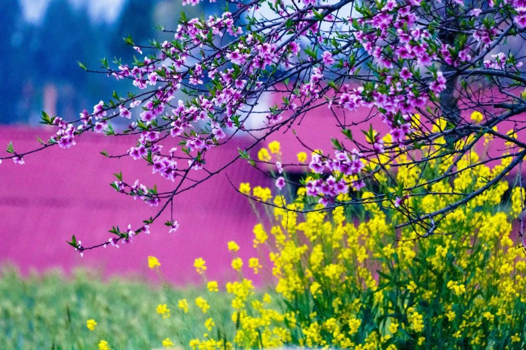 A great place that is famous overnight for enjoying flowers is becoming beautiful extremely from March